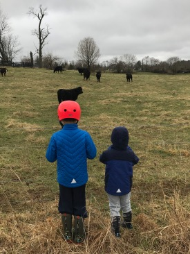 A & P watching cows